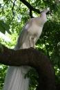 Biely páv na strome - Dosť vysoko dokázal vyletieť